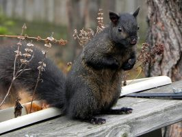 black squirrel by Lou-in-Canada