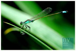 dragonfly and the morning dew by nvgallery