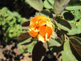 Yellow Bronze Rose 2 by hclausen