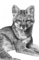 Grey Fox by Flowerlark