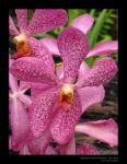 Pink Orchids 2 by mavart