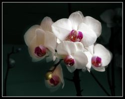 Orchid 2 by kanes