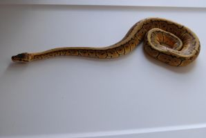 Lemon Blast Ball Python 14 by FearBeforeValor