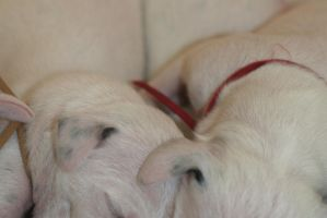 3 day old puppy by Smartierocks
