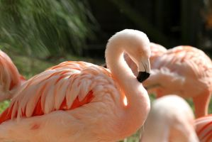 flamingo by lucifie