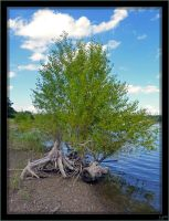 Birch on the lakeside by J-Y-M