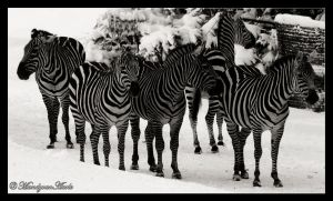 March of the zebras by mandykip