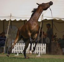 STOCK - TotR Arabians 2013-325 by fillyrox