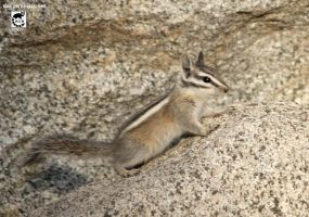 Chipmunk rock by jaffa-tamarin