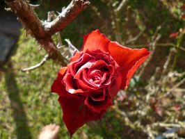 red rose by Stephanike