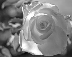 Timeless Rose bud Redux -- Washington Oaks garden by Toxicheartproduction