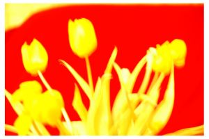 Modern Tulips by phq