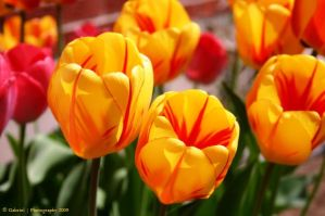 Tulips by Nariane