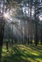 The rays in a pine forest by Hudojnica
