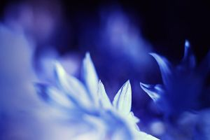 Cornflower blue by TriinErg