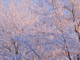 Pink winter trees by Hoejfeld