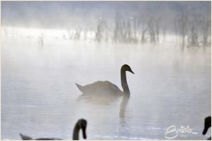 Swan by brijome