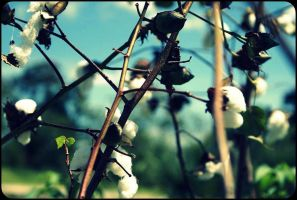 Cotton:: by chineserocker55