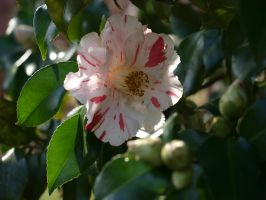 Variegated Camellia Stock 01 by botanystock