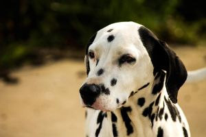 Observing Dalmatian by DrNoVodka
