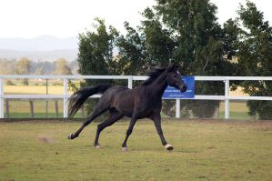 GE Arab black canter eyes closed by Chunga-Stock