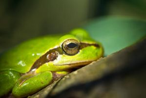 Tree frog by AnjaSchlegelmilch