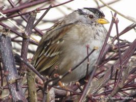 White-crowned Sparrow by vanwaglajam