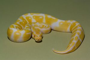 Albino royal python 4 stock by AngiWallace