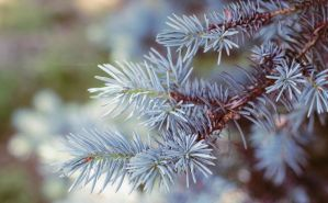 Conifer by miroslav-petrinec
