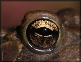 American Toad 40D0029645 by Cristian-M