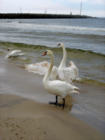 Stock 136: swans on seashore by AlzirrSwanheartStock