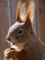 Squirrel 175 by Cundrie-la-Surziere