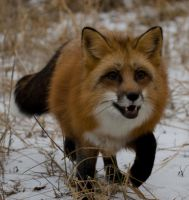 Red Fox III by White-Voodoo
