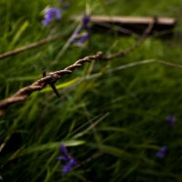 Barbed wire and bluebells by SoorPus