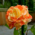 Orange Rose III by FeralWhippet