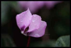 Pink Cyclamen by Xerces
