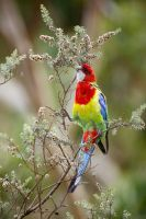 Eastern Rosella on Tea Tree Bush #3 by Simon-Hunt