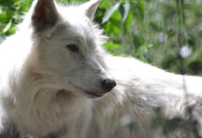 White Wolf by The-Other-Half-Of-Me