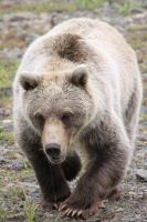Grizzly Approach by Jack-13