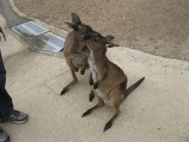 Wallaby-4-Stock by SilkenWebs