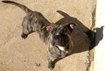Reference - Cream brindle by Leonca