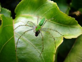 Green lynx spider by code10100