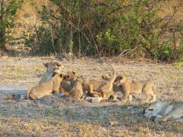 Cubs aplenty by Thaylien