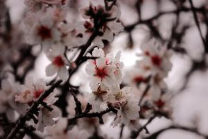almond flowers by aPurringCat