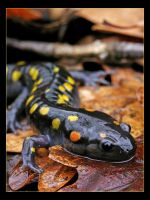 Spotted Salamander by ScottAlbert