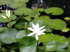Lily Pad 2 by BabyFae-Stock