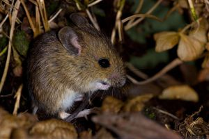 The field mouse by AngiWallace