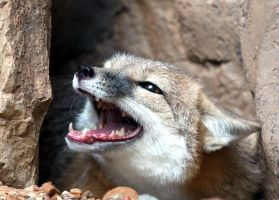 Swift Fox Angry by Jack-13