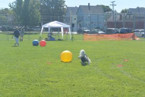 2014 Dog Festival, Treiball Session 4 by Miss-Tbones