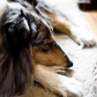 Sleepy Collie by JessicaDobbs